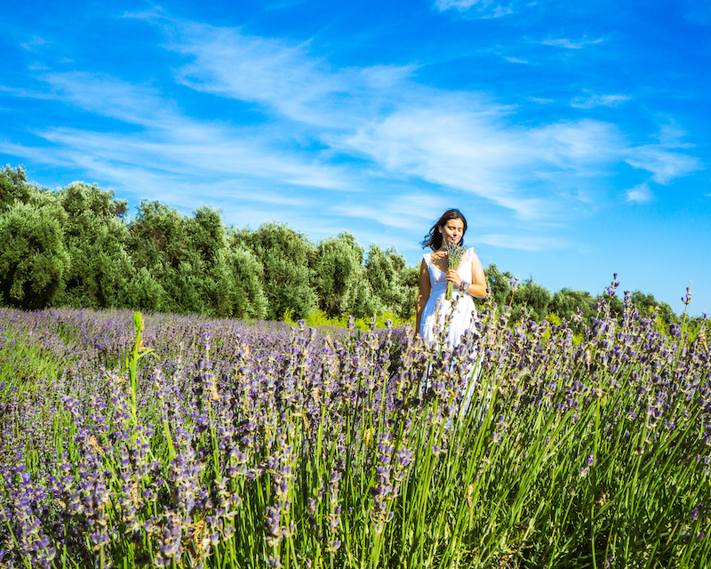 woman smelling lavender bouquet on lavender field