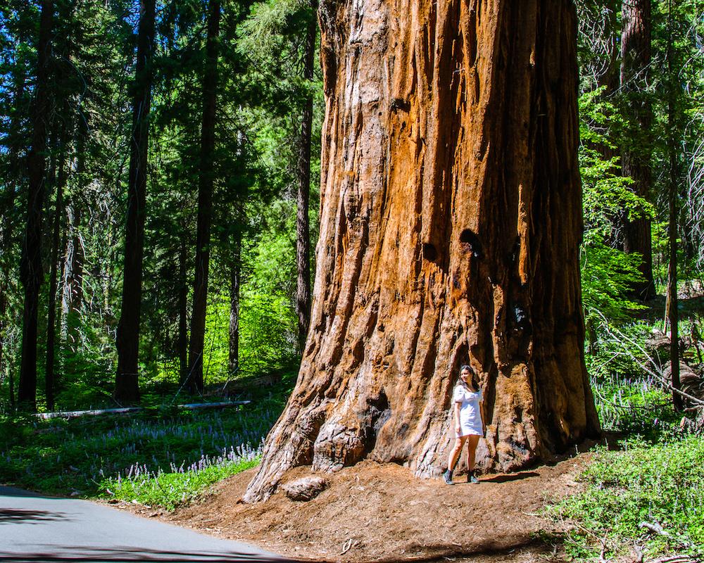 woman standing next to giant sequoia tree