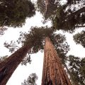 persons perspective of giant sequoias