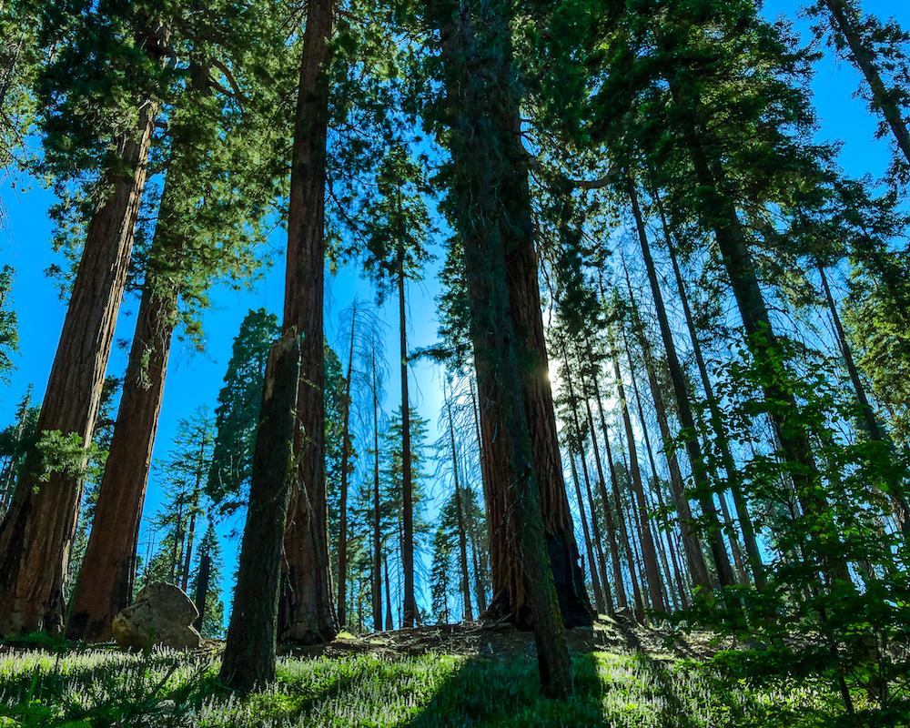 sequoia trees at sequoia national park california
