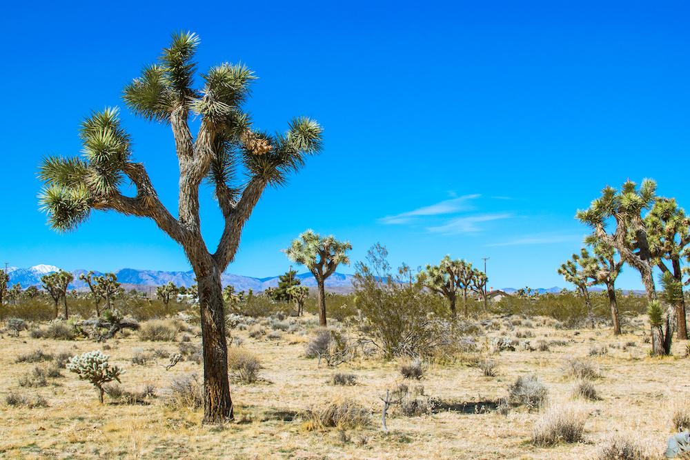 joshua tree yucca plants