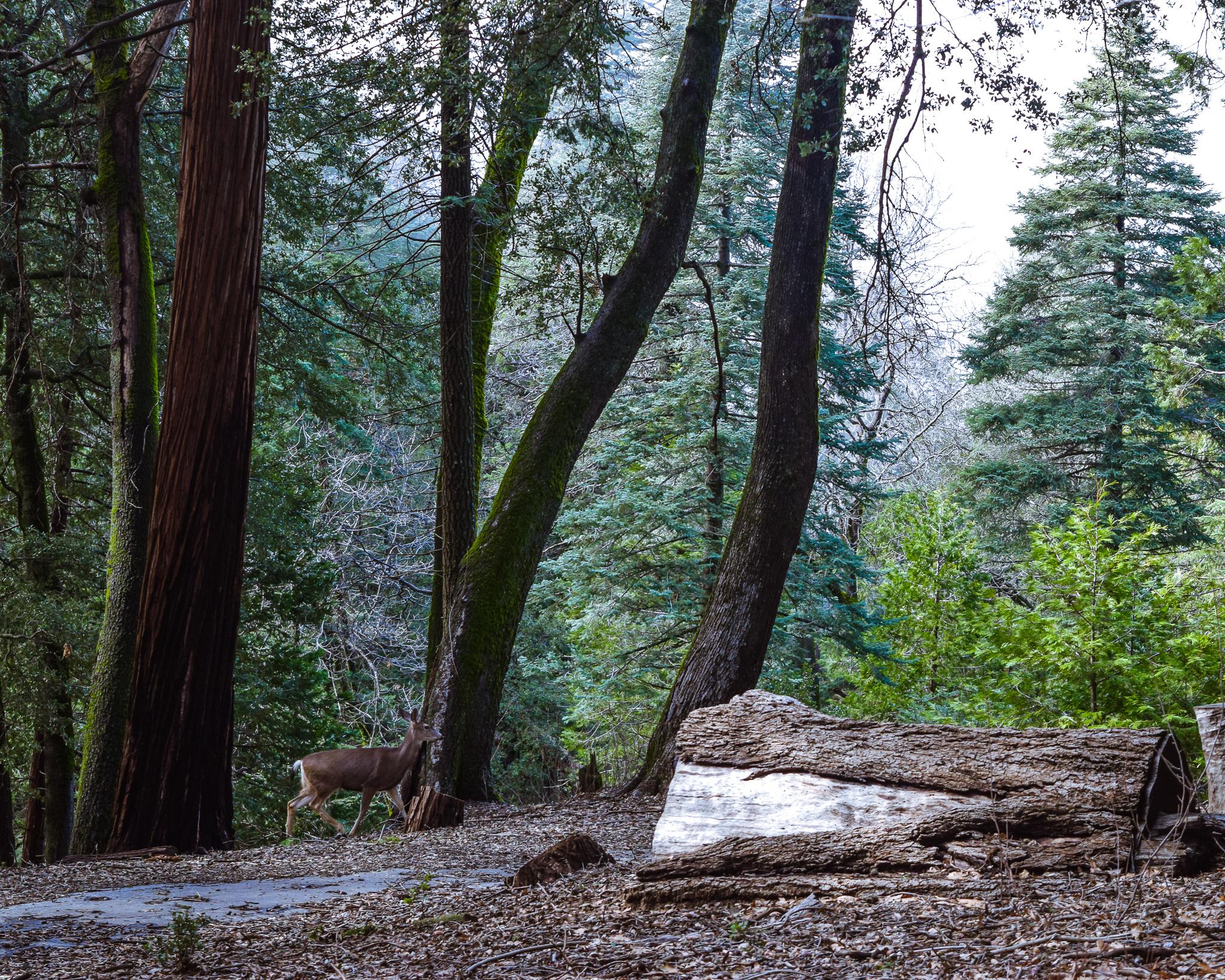 palomar mountain state park california deer in woods