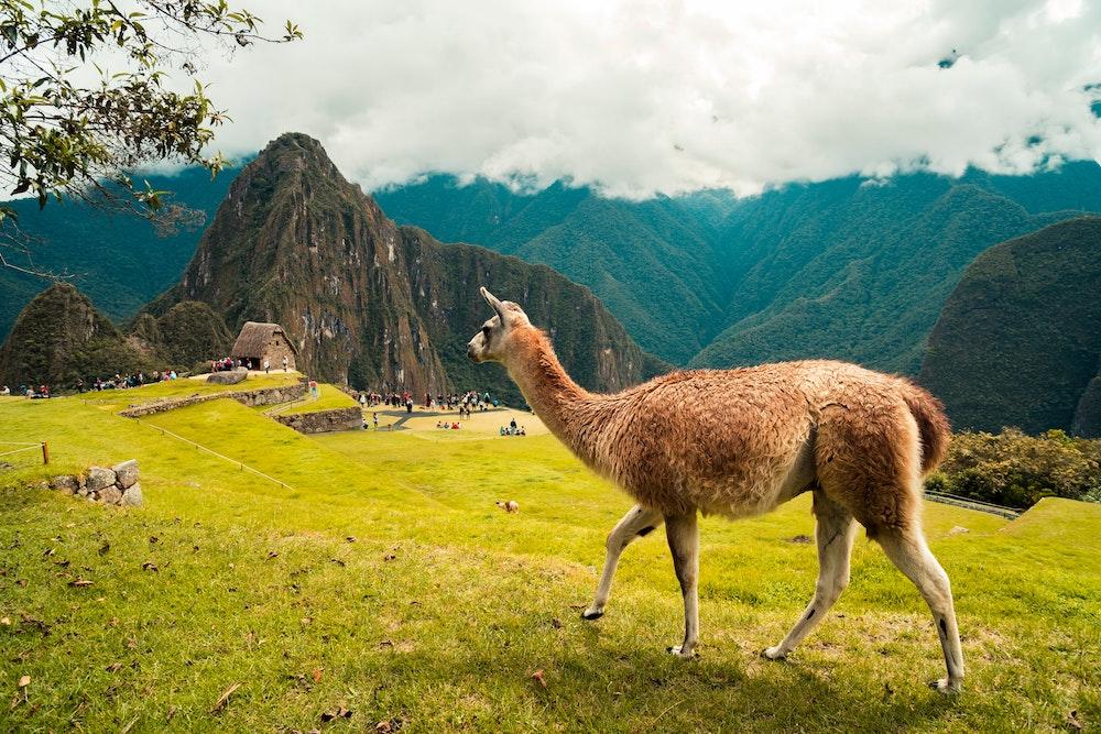 llama at machu picchu cusco peru in the background