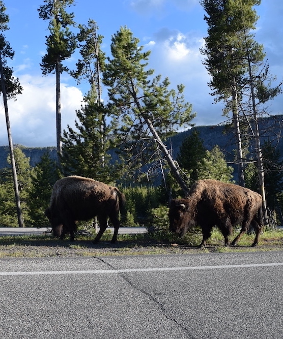 bison on the road at yellowstone national park