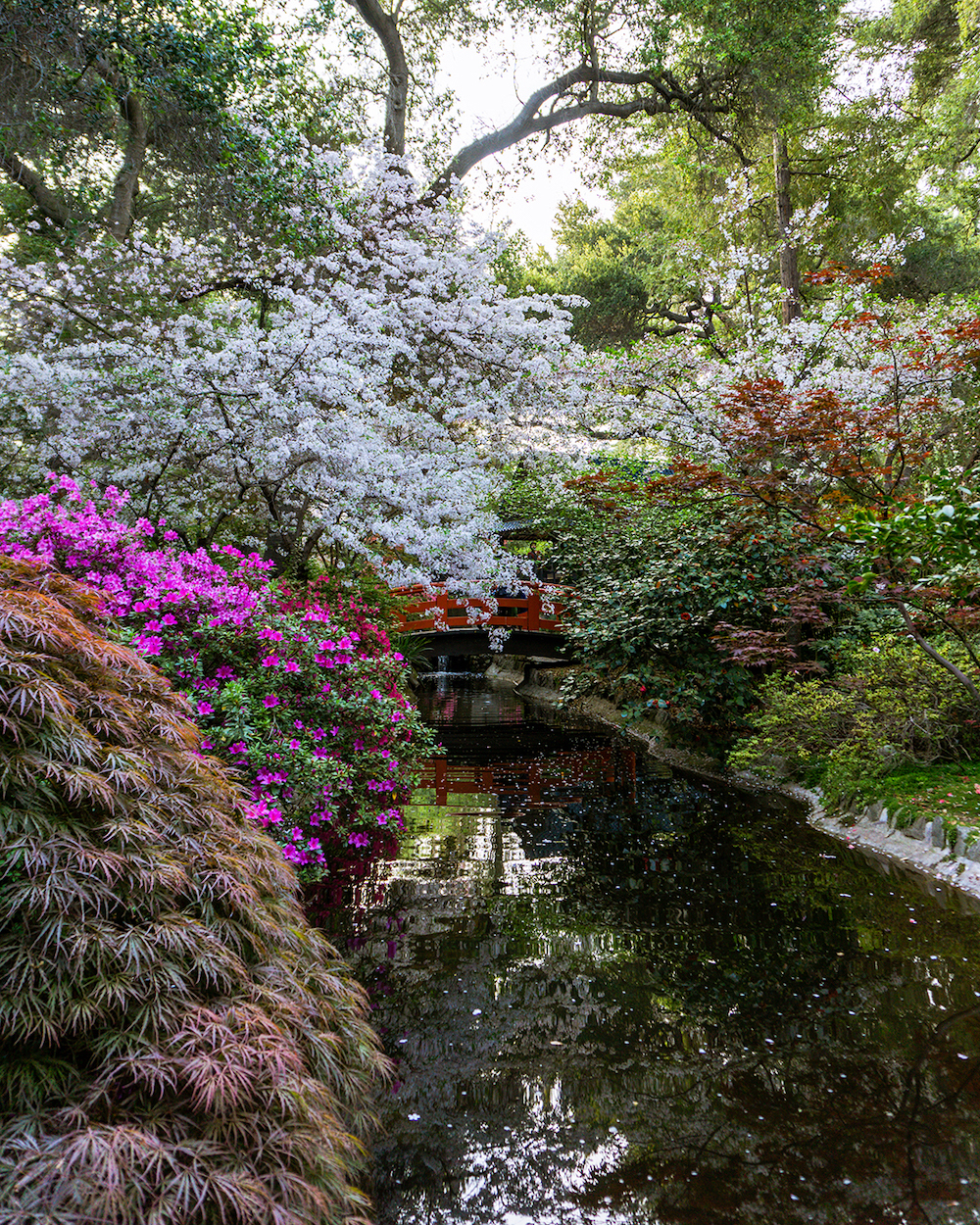 cherry blossoms los anageles descanso gardens