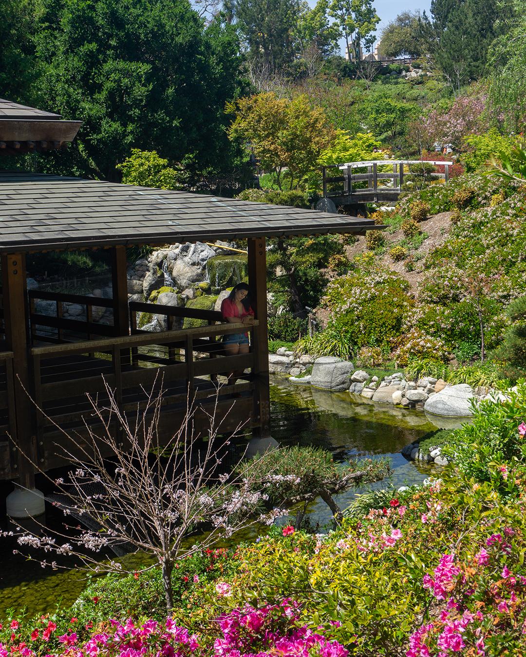 woman at japanese friendship garden San Diego cherry blossoms