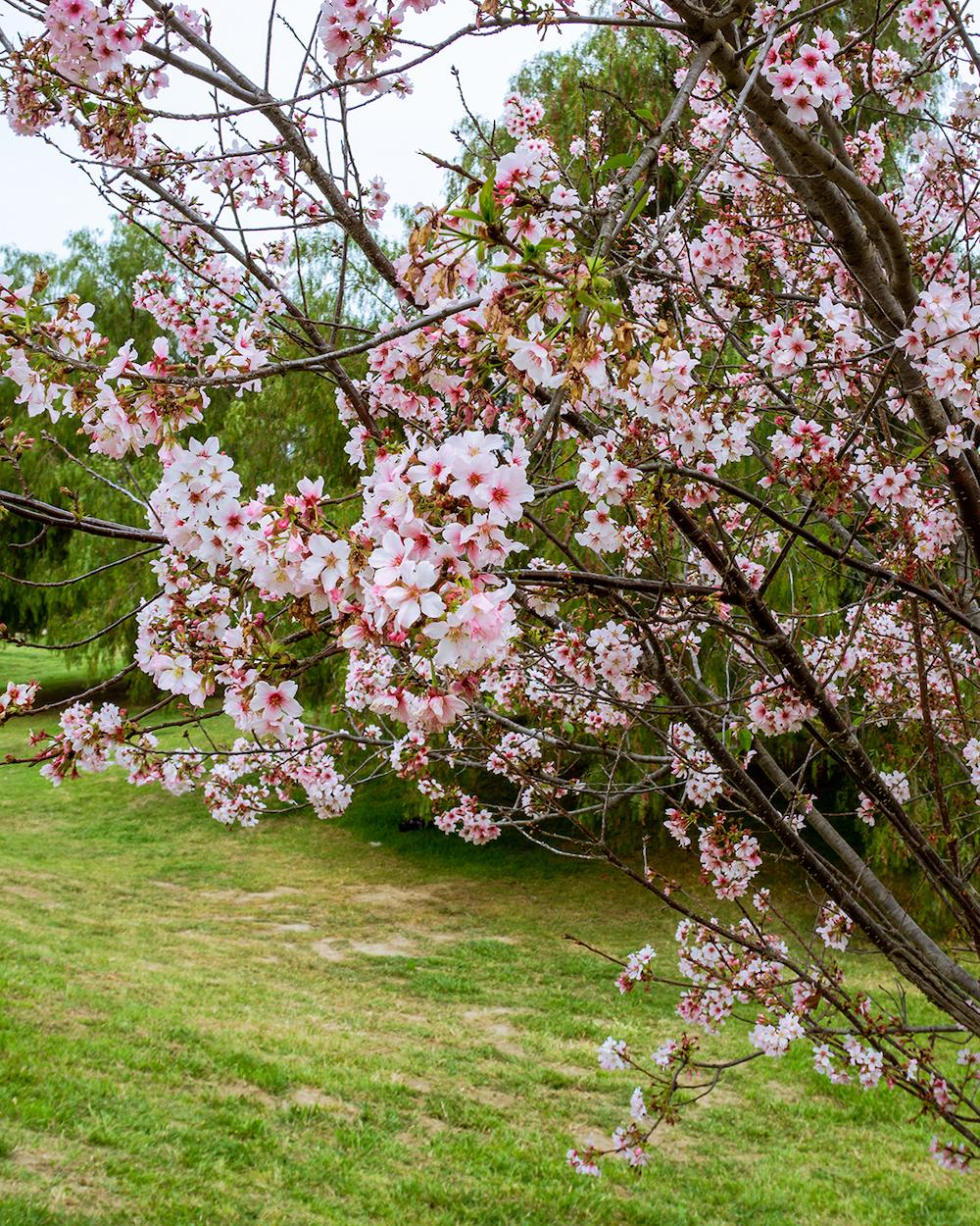 lake balboa park cherry blossoms los angeles