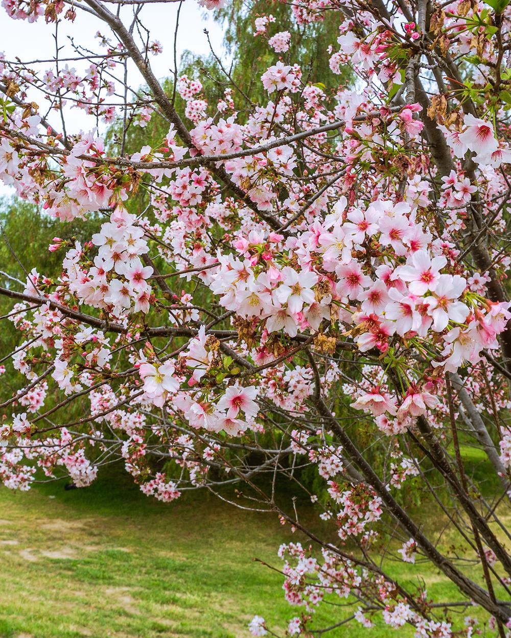 lake balboa park cherry blossoms