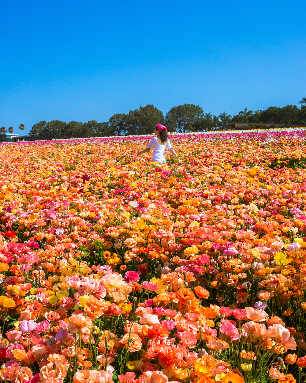 things to do in carlsbad california ranunculus flower fields