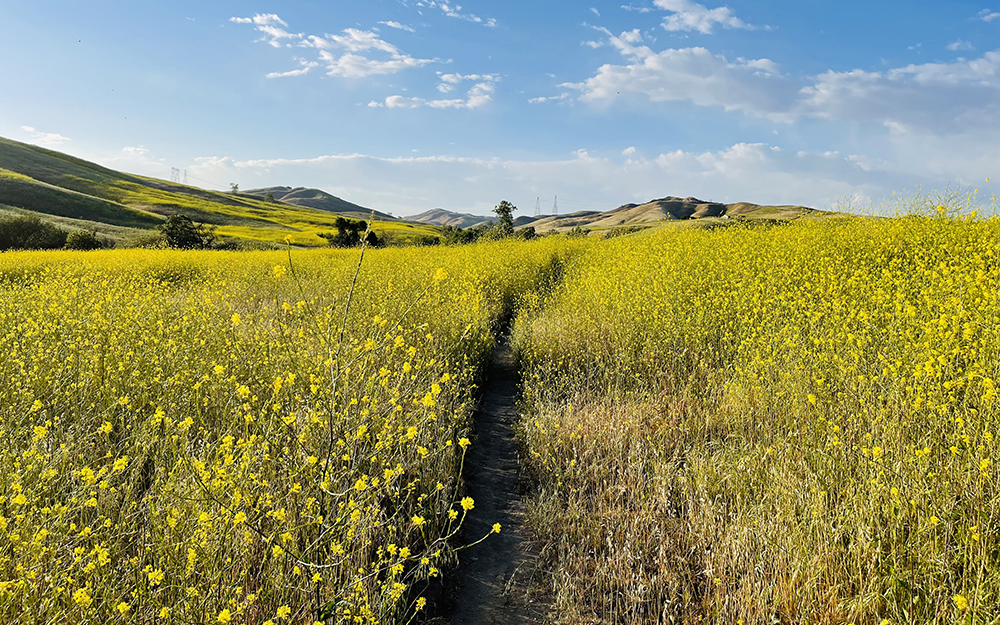 Black mustard flowers along hiking trail in chino hills state park california