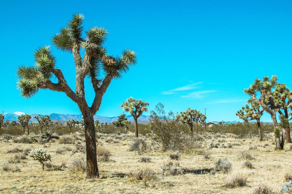joshua trees in california desert