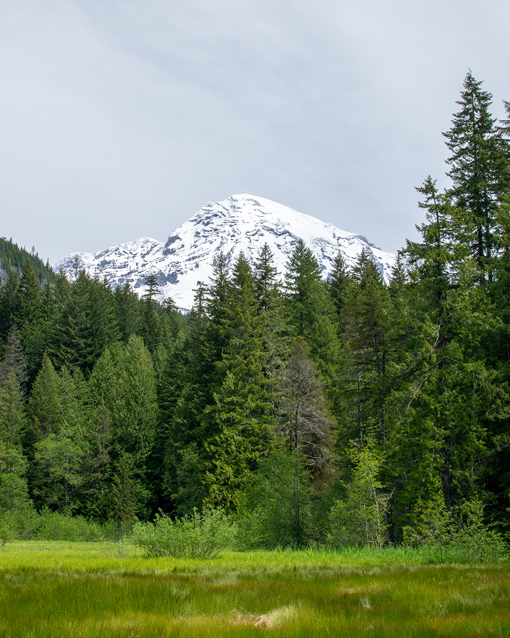 view of snowy mountain peak surrounded by pine trees from a meadow in mount rainier national park washington